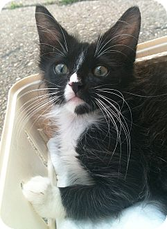 Domestic Longhair Kitten for adoption in Brooklyn, New York - Ali