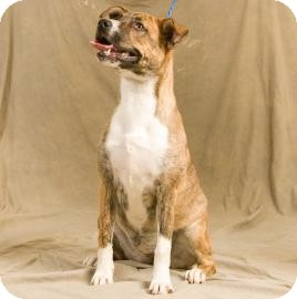 Catahoula Leopard Dog/Hound (Unknown Type) Mix Dog for adoption in Bardonia, New York - Arby