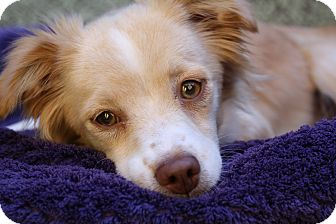 Spaniel (Unknown Type)/Terrier (Unknown Type, Small) Mix Dog for adoption in san diego, California - Giselle