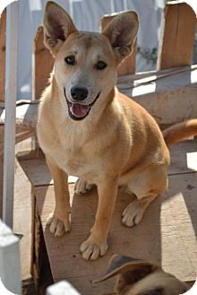 German Shepherd Dog/Labrador Retriever Mix Puppy for adoption in San Diego, California - Wendy