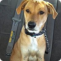 Adopt A Pet :: Gus - Phoenix, AZ