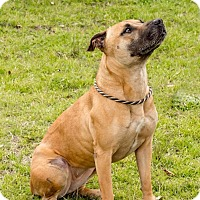 Black Mouth Cur/Black Mouth Cur Mix Dog for adoption in El Campo, Texas - Karma
