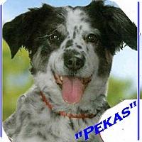 Adopt A Pet :: Pekas - El Cajon, CA