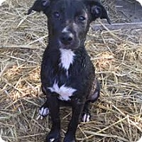 Adopt A Pet :: Chloe in CT - Manchester, CT