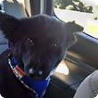 Border Collie/Labrador Retriever Mix Dog for adoption in Gainesville, Virginia - Charlie