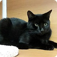 Adopt A Pet :: Black Velvet - Gloucester, MA