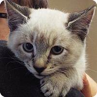 Siamese Kitten for adoption in Grants Pass, Oregon - Fizz