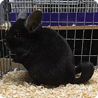 Adopt A Pet :: 6 year dark ebony chinchilla 1 - Hammond, IN