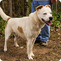 Husky/American Bulldog Mix Dog for adoption in Clarkesville, Georgia - Andrew