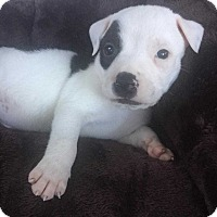 Adopt A Pet :: Aiden (Addys litter) - Wenonah, NJ