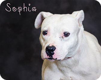 Pit Bull Terrier Dog for adoption in Somerset, Pennsylvania - Sophia