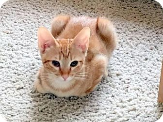 Domestic Shorthair Kitten for adoption in Chandler, Arizona - Pumpkin