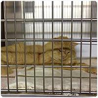 Domestic Mediumhair Cat for adoption in Comanche, Texas - Mango