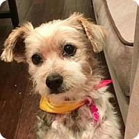 Adopt A Pet :: Toby - Dallas, TX