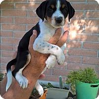 Adopt A Pet :: Rebel - El Paso, TX