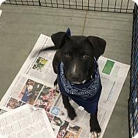 Labrador Retriever Mix Puppy for adoption in Patterson, New York - Zayne