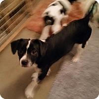 Adopt A Pet :: Babe - Doylestown, PA
