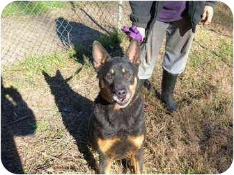 Doberman Pinscher/Cardigan Welsh Corgi Mix Dog for adoption in No.Charleston, South Carolina - Poppy