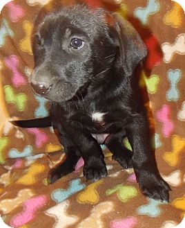 Labrador Retriever Mix Puppy for adoption in Morgantown, West Virginia - Axe
