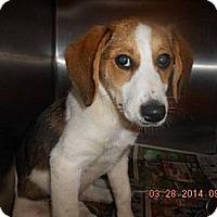 Adopt A Pet :: Abner! Puppy! - St, Augustine, FL