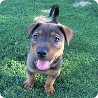 Adopt A Pet :: Colt - Scottsdale, AZ