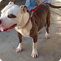 Staffordshire Bull Terrier Dog for adoption in Phoenix, Arizona - Jimmy