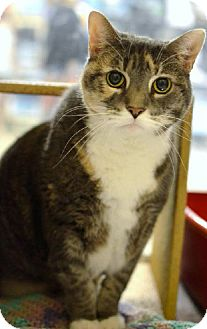 Domestic Shorthair Cat for adoption in Herndon, Virginia - Emma