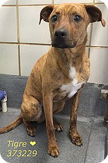 Plott Hound/Shepherd (Unknown Type) Mix Dog for adoption in San Antonio, Texas - 373229 Tigre