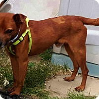 Adopt A Pet :: Dusty - Andalusia, PA