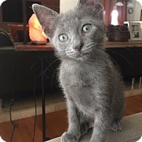 Russian Blue Kitten for adoption in Fort Lauderdale, Florida - Butter