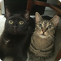 Domestic Shorthair Cat for adoption in New York, New York - Loving LOUISE&SOPHOCLES