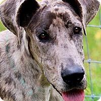 Adopt A Pet :: PADDINGTON(GORGEOUS DANE PUPPY - Wakefield, RI