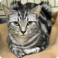 Domestic Shorthair Kitten for adoption in Richmond, Virginia - Ace