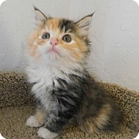 Adopt A Pet :: Lollipop - Davis, CA