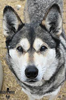 Alaskan Malamute Mix Dog for adoption in Dodson, Montana - Fricka