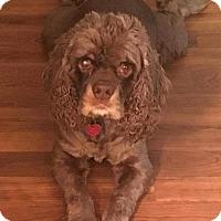 Adopt A Pet :: Samson - Ogden, UT