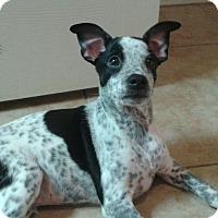 Adopt A Pet :: Joker - Tonopah, AZ