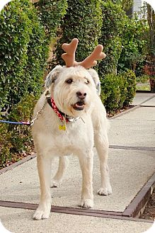 Wheaten Terrier/Poodle (Standard) Mix Dog for adoption in Beverly Hills, California - IVY