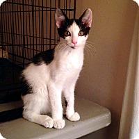 Adopt A Pet :: Hopscotch - Lombard, IL