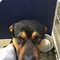 Adopt A Pet :: Bear (HW Neg) - Henderson, NC