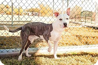 American Staffordshire Terrier Dog for adoption in Enid, Oklahoma - Penquin