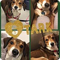 Adopt A Pet :: Stark - Pomfret, CT