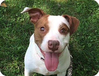 Pit Bull Terrier Mix Dog for adoption in St Louis, Missouri - Snooki