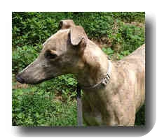 Greyhound Dog for adoption in Roanoke, Virginia - Orbit