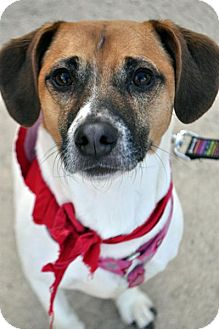Jack Russell Terrier Mix Dog for adoption in Fairfax Station, Virginia - Waddles