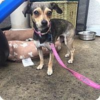 Adopt A Pet :: Sierra - Vacaville, CA