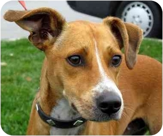 ... | Adopted Dog | Overland Park, KS | Basenji/Italian Greyhound Mix