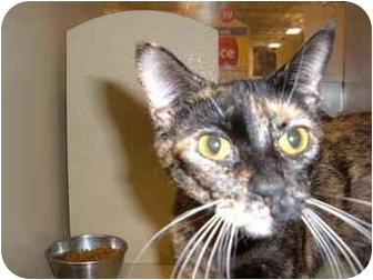 American Shorthair Cat for adoption in No.Charleston, South Carolina - ROXANNE