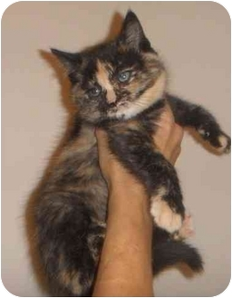 Domestic Shorthair Kitten for adoption in Montreal, Quebec - Victoria