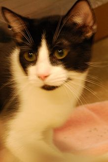 American Shorthair Cat for adoption in Salem, West Virginia - Browning